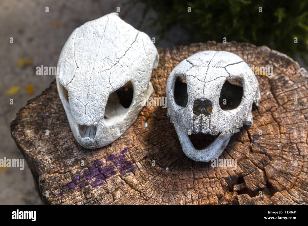 pair-of-sea-turtle-skulls-on-a-tree-stum