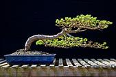Bonsai Japanese Larch - Stock Image - BAE2EH