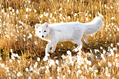 An arctic fox walks through cotton grass September 17, 2012 in Pituffik, Greenland. - Stock Image - D1DP59