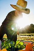 Organic tatsoi farm - Certified Organic Producer - Stock Image - BEEBRE