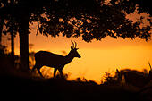 Ashton Court Estate, Bristol, UK. 5th Oct, 2014. Weather: Red deer at sunrise gearing up for the annual rut. They are still testing each other's courage and having small scuffles, which will culminate in some bigger battles soon. © Andrew Walmsley/Alamy Live News - Stock Image - E8C94E
