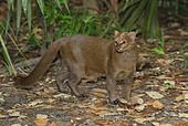 Jaguarundi (Felis yagouaroundi), adult, Belize - Stock Image - BGR1D4