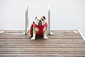 Dog sitting on wooden pier in lake - Stock Image - D52JDC