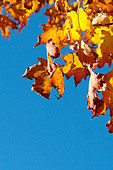 Vibrantly Colored Autumn Leaves with Copy Space - Stock Image - AJXMWG