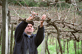 Pruning. Pergola trained vines at Mioranza Winery, Forels da Cunha, Brazil - Stock Image - AXD51P