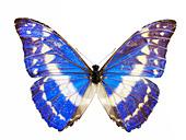 Morpho helena Butterfly - Stock Image - BXXDNP