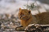 jaguarundi (Felis yagouaroundi), sitting,  ,  , - Stock Image - A9FX9F