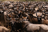 Large mass of tightly packed of wildebeest during their annual migration - Stock Image - APX3RN