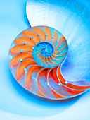 Nautilus Shell bisected in half showing the chambers,Nautilus Pompilus,Genus Nautilus - Stock Image - D42E8A