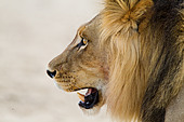 Male lion, head shot - Stock Image - C5NYEJ