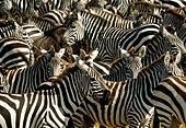 Grant's zebra mass migration, Masai Mara National Reserve, Kenya - Stock Image - CN3R9P
