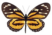 Monarch Butterfly with open wings on white background - Stock Image - E87EMB