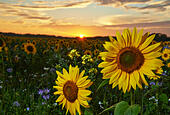 The  evening sun setting behind a field of late flowering bright yellow and colourful  sunflowers creating a warm fell to the end of the day near Pagham nature reserve In West Sussex - Stock Image - E7K274