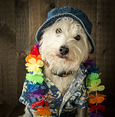 A dog on vacation wearing a Hawaiian shirt, lay and bucket hat. - Stock Image - CTYNJ9
