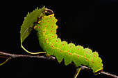 Luna or Moon Moth Caterpillar Actias luna larvae feeding on birch leaves bright green - Stock Image - BE25BM