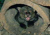 JAGUARUNDI, (Felis yagouaroundi) Costa Rica, captive. - Stock Image - A29NX8
