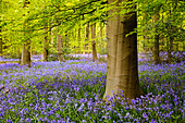 A carpet of bluebells in West Woods near Marlborough. - Stock Image - CRP343