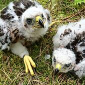 Scottish Borders, UK. 15th June, 2015. Goshawk chicks 3/4 weeks old just been ringed in order to monitor their population levels. There are less Goshawks than Golden Eagles in the British Isles. © Chris Strickland / StockimoNews/Alamy Live News - Stock Image - N0038N