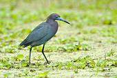Little Blue Heron (Egretta caerulea) - Brazos Bend State Park, Texas, United States of America - Stock Image - CFDGNT