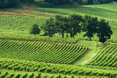 vineyard chateau gudeau saint emilion bordeaux france - Stock Image - BEAW0C