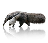 Giant Anteater - Stock Image - DCTK6R