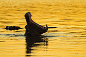 Silhouette of a hippopotamus yawning in the golden evening light - Stock Image - D2KC17
