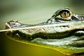 Caiman crocodilus - Stock Image - D0YF47