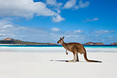 Kangaroo on beach at Lucky Bay.  Cape Le Grand National Park, Esperance, Western Australia, Australia - Stock Image - C45RGJ