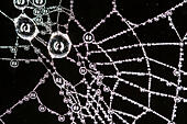 Cob web with early morning dew - Stock Image - EAH57N