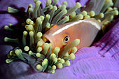 Skunk Anemonefish, Amphiprion sandaracinos, Similan Islands, Thailand - Stock Image - D3X3GE