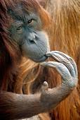 Bornean Orangutan / Pongo pygmaeus - Stock Image - BG3CF9