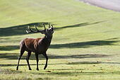Windsor Great Park, Berkshire, UK. 7th October, 2014. UK Weather: Red deer stag bellowing during the annual deer rut in Windsor Great Park, Berkshire, England, UK. © Ed Brown/Alamy Live News - Stock Image - E8FG98