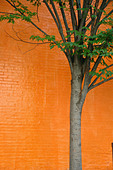 Urban Scene of a Lone Young Tree Against a Vibrantly Painted Orange Brick Wall Copy Space - Stock Image - B4BG3H