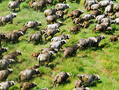 Aerial view of Cape Buffalo (Syncerus caffer) in Kenya. - Stock Image - C5FD2Y