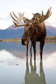 CAPTIVE: Bull moose walks thru high-tide water, Alaska Wildlife Conservation Center, Southcentral Alaska, Autumn - Stock Image - CNBC81