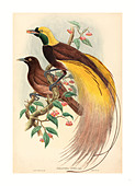 John Gould and W. Hart (British, 1804 - 1881 ), Bird of Paradise (Paradisea apoda), published 1875 1888, hand colored lithograph - Stock Image - DDWCWC