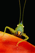 The katydid, a type of grasshopper found in the western hemisphere - Stock Image - CR8CEN