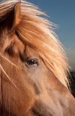 Portrait of Icelandic Horse, Iceland - Stock Image - BNC91D