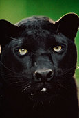 Black leopard, Panthera pardus, Native to Africa and Asia - Stock Image - BFB1AW