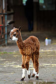 Kington, Herefordshire, UK. 13th Oct, 2014. A baby alpaca which was rejected at birth by its mother, took his first outing into the big wide world after the loving help from his human carers. Carlos, the litle alpaca, which is also known as a 'cria' came into the world one week ago and was immediately rejected by his mother Carmel at the Small Breeds Farm Park and Owl Centre in Kington Herefordshire. Carlos, who was born on October 5th, is named after his dad Monty and is being fed goats milk every two hours. He is pictured on his first trip outside. © Andrew Compton/Alamy Live News - Stock Image - E8PMK5