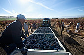 Hispanic workers harvesting grapes in field - Stock Image - D80DC2