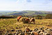 Pony's feeding under Curbar Edge, Peak District - Stock Image - EFJCCX