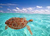 Green sea Turtle Chelonia mydas Caribbean sea Cheloniidae water surface - Stock Image - C1MEPA