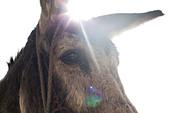 Donkey's head, close up - Stock Image - CN2P8B