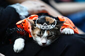 Quezon City, Philippines. 25th Oct, 2014. A cat dressed as a princess sleeps during a pet costume competition in celebration of Halloween in Quezon City, the Philippines, Oct. 25, 2014. More than 100 pet dogs and cats joined in the competition. © Rouelle Umali/Xinhua/Alamy Live News - Stock Image - E9CTC9