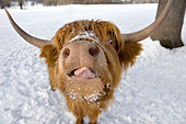 Highland cattle portrait in winter - Stock Image - BMYEY1