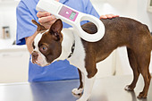 Veterinarian examining dog in vet's surgery - Stock Image - D4G1E1