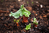 Rhubarb Leaf emerging and beginning to  open - Stock Image - BMEM04