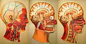 Antique medical illustration of skull, cranium, brain, head, face - Stock Image - C4N8TR