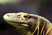 Komodo dragon, portrait of a Komodo Dragon. - Stock Image - D6MDDX